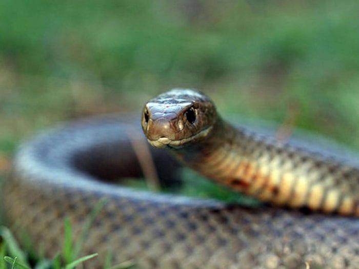 Brown snake bite kills man trying to protect pet dog